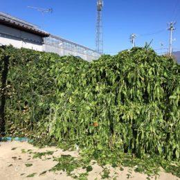 パプリカの収穫が終わって…